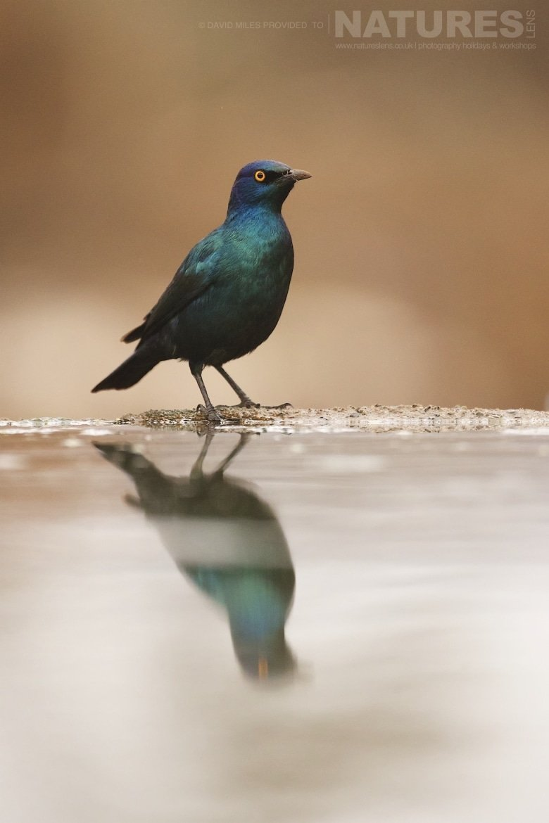 Cape Glossy Starling reflection captured during the NaturesLens Zimanga Wildlife Hides and Safaris photography tour