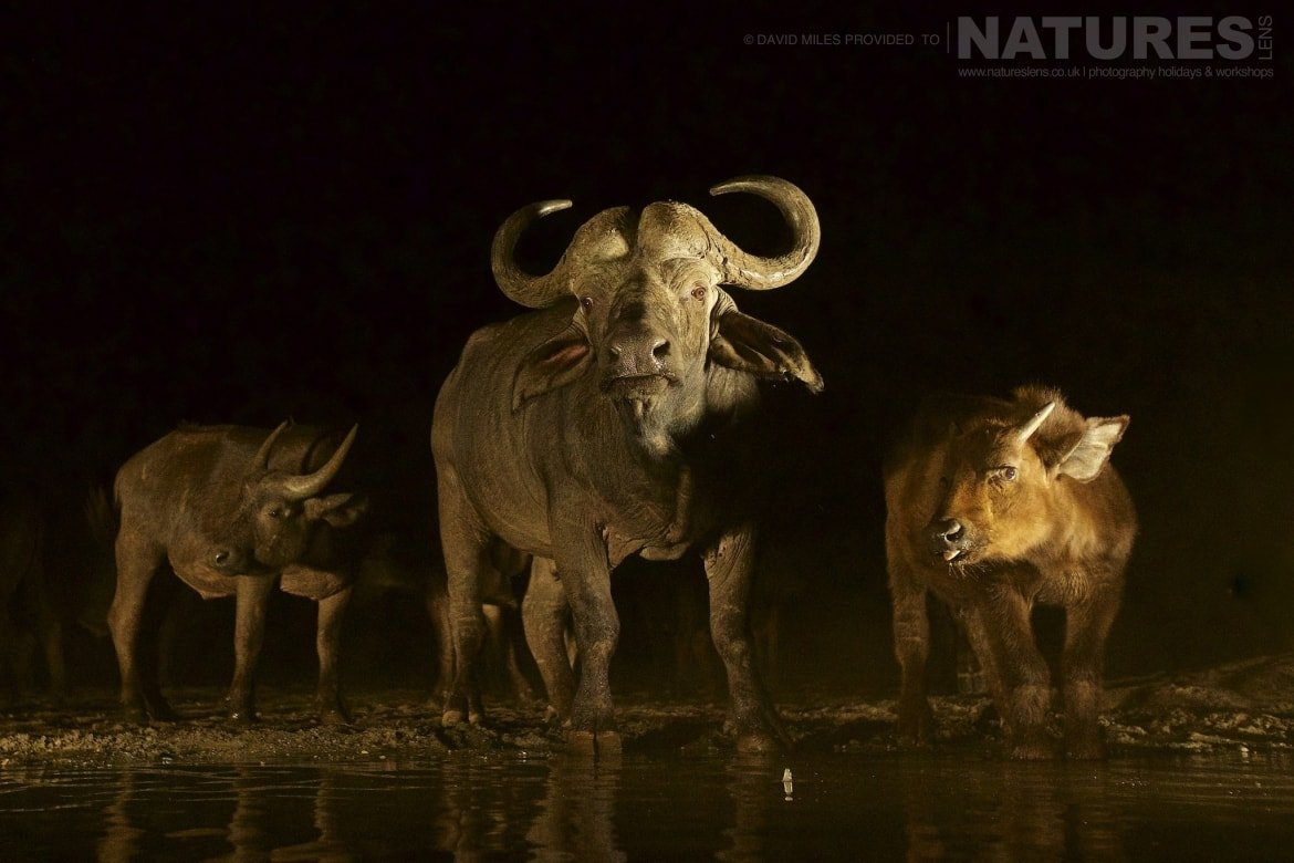 Cape buffalo at a watering hole at night as photographed on the Zimanga Wildlife Hides and Safaris tour led by NaturesLens