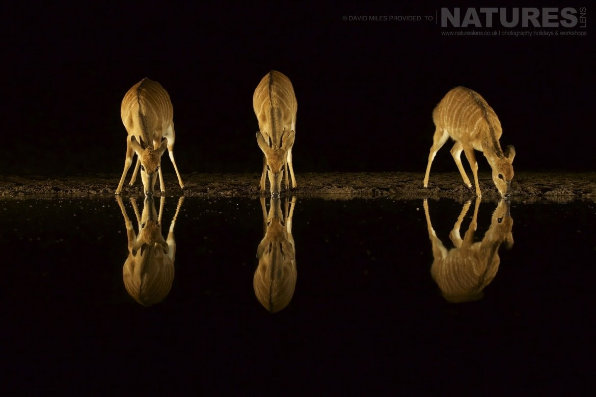 Nyala reflections at night taken during the Zimanga Wildlife Hides and Safaris led by NaturesLens