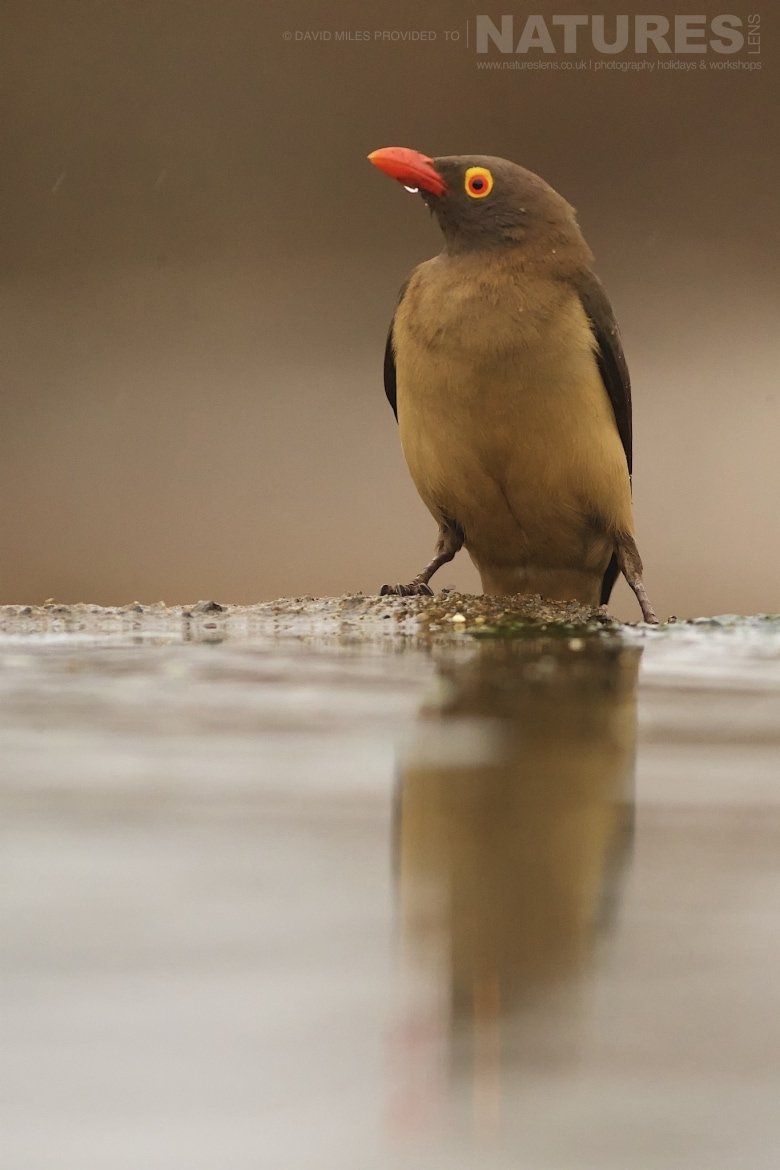 Oxpecker reflection photographed during the Zimanga Wildlife Hides and safaris tour led by NaturesLens