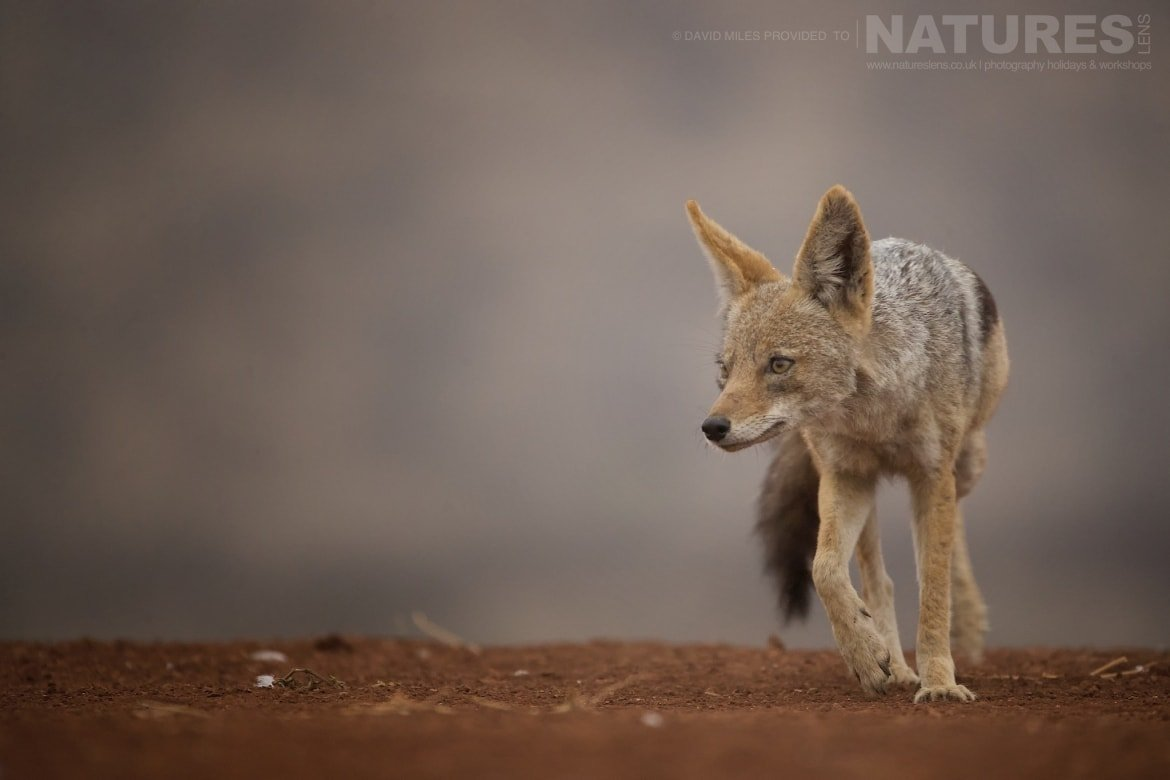 Portrait of a jackal taken during the NaturesLens Zimanga Wildlife Hides and Safaris photo tour