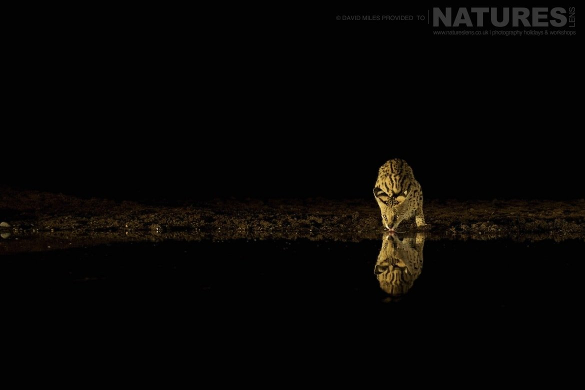 Serval drinking at night as photographed during the NaturesLens Zimanga Wildlife Hides and safaris photo tour
