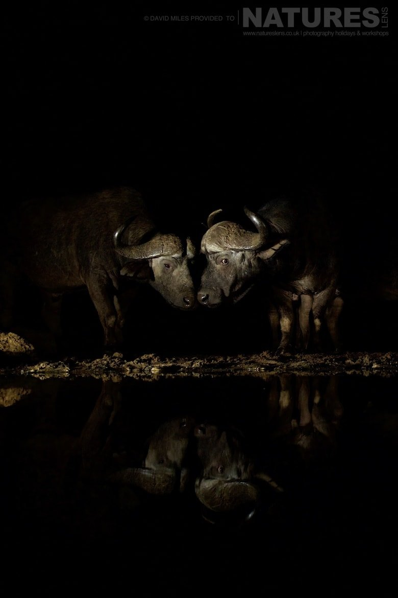 Two cape buffalo head to head photographed during the NaturesLens Zimanga Wildlife Hides and Safaris photography holiday