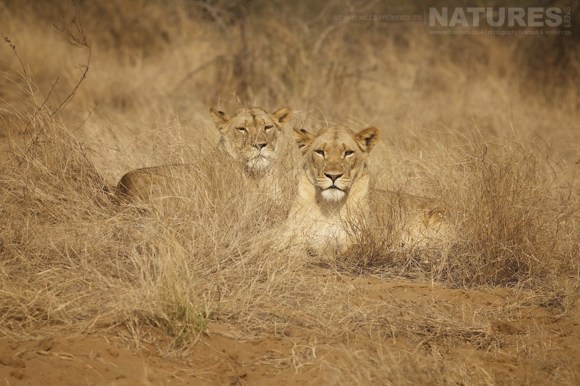 Two lionesses captured during the NaturesLens Zimanga Wildlife Hides and Safaris photography holiday