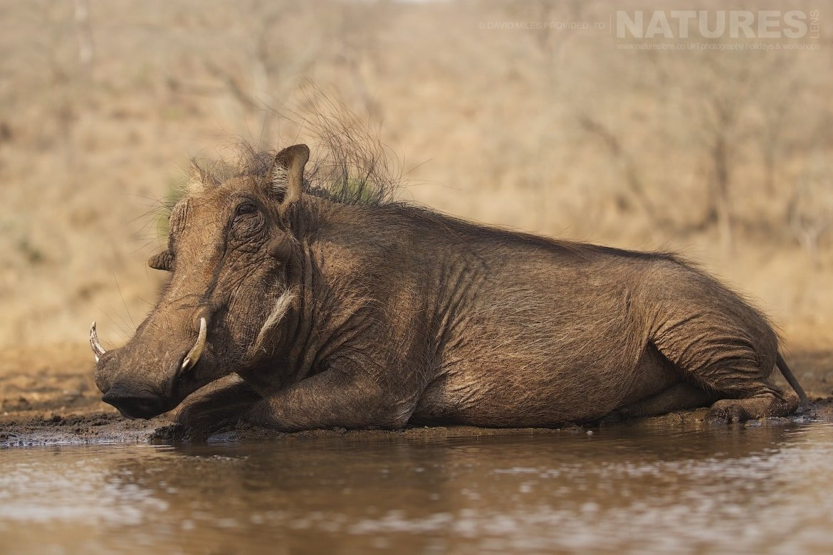 Warthog lying by a waterhole as captured during the NaturesLens Zimanga Wildlife Hides and Safaris photography tour