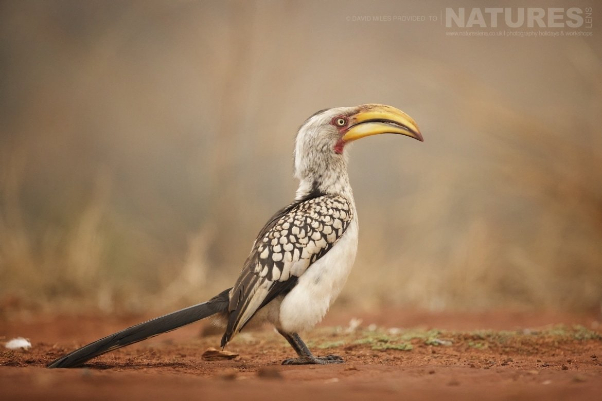 Yellow Beaked Hornbill photographed on the Zimanga Wildlife Hides and Safaris tour led by NaturesLens