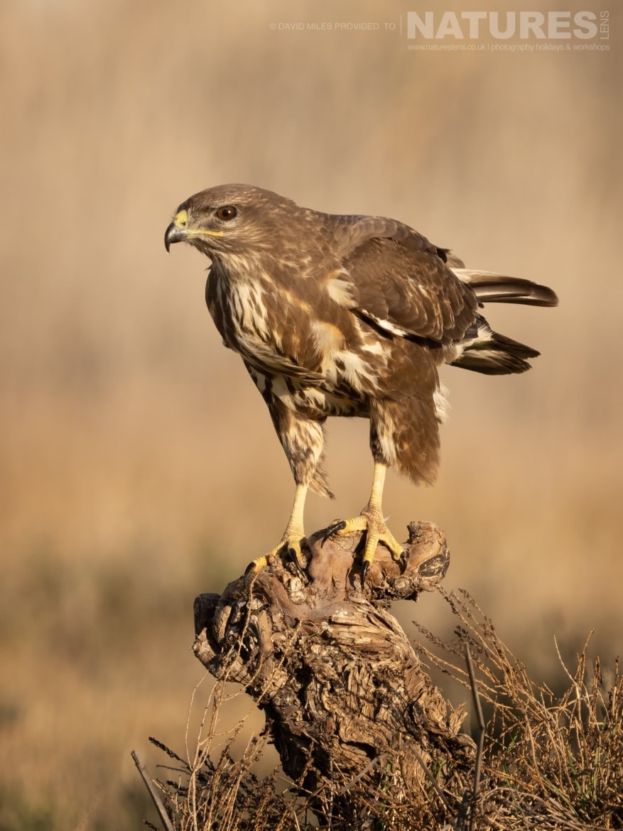 A Buzzard poses on a knraled tree stump in front of the hides on the photography estate photographed at the Winter Raptors of Toledo photography holiday at El Taray