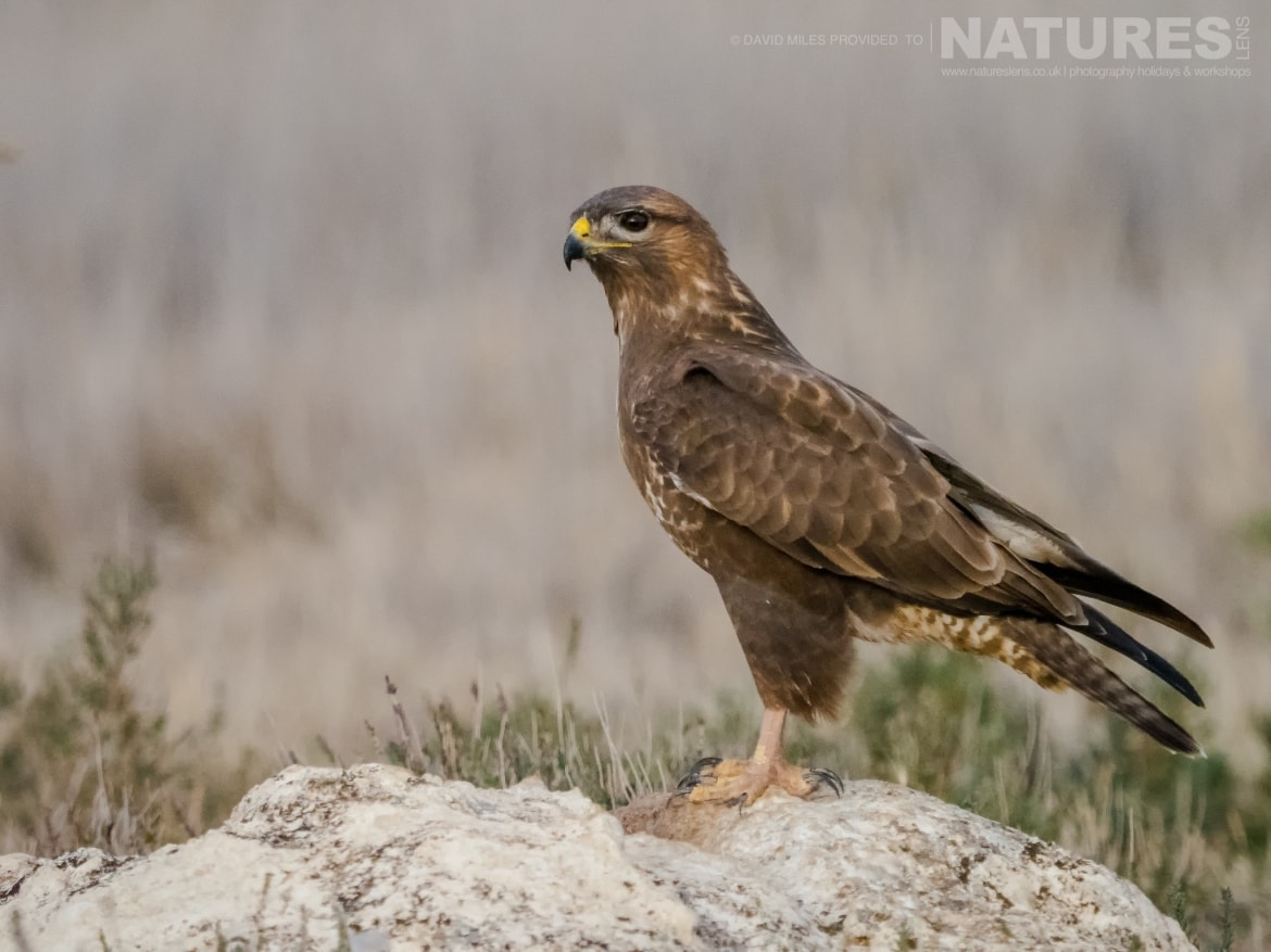 A Buzzard poses on a rocky outcrop in front of the hides on the photography estate photographed at the Winter Raptors of Toledo photography holiday at El Taray