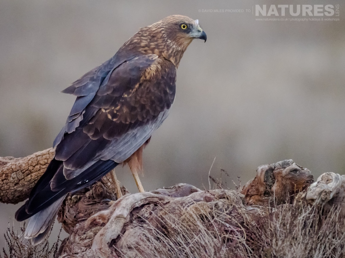 A Harrier poses on a knarled tree stump in front of the hides on the photography estate photographed at the Winter Raptors of Toledo photography holiday at El Taray