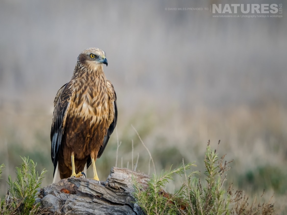 A Harrier poses on a small tree stump in front of the hides on the photography estate photographed at the Winter Raptors of Toledo photography holiday at El Taray
