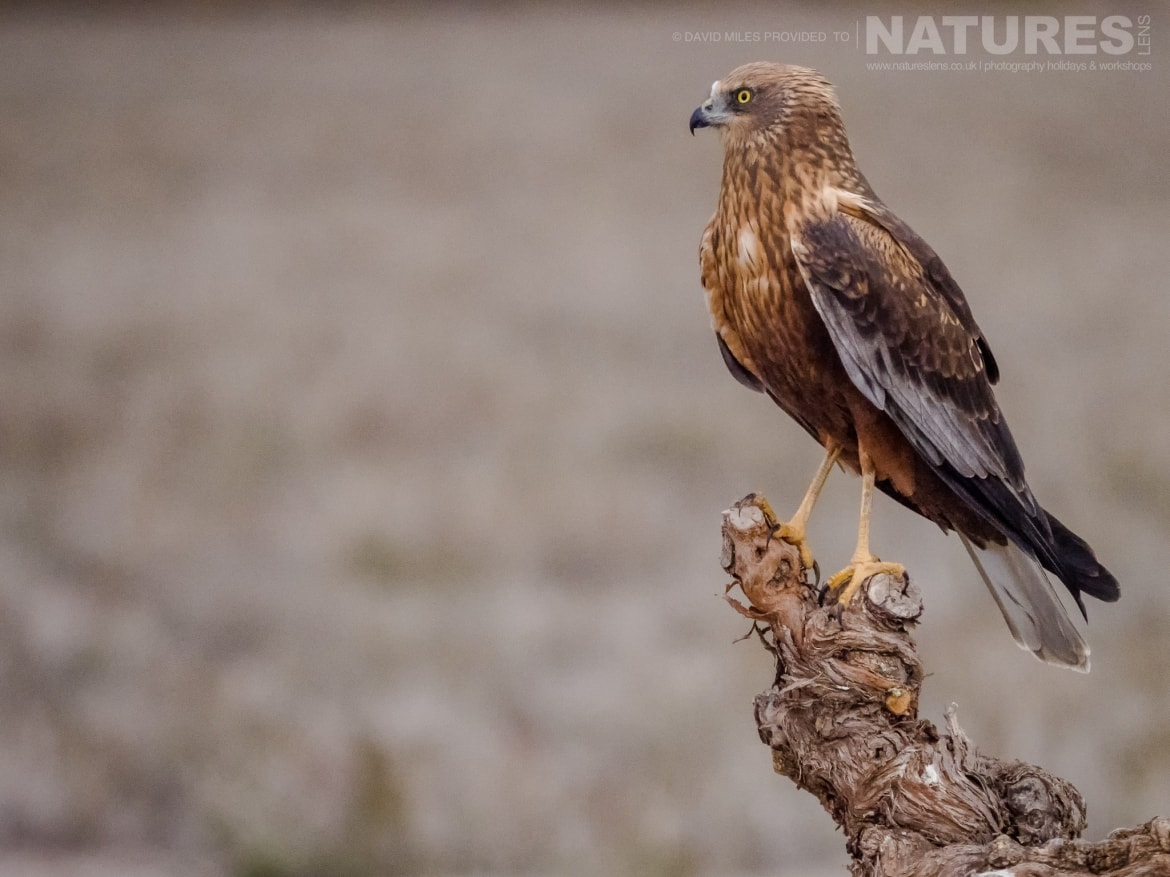 A Harrier poses on at the top of a knarled tree stump in front of the hides on the photography estate photographed at the Winter Raptors of Toledo photography holiday at El Taray