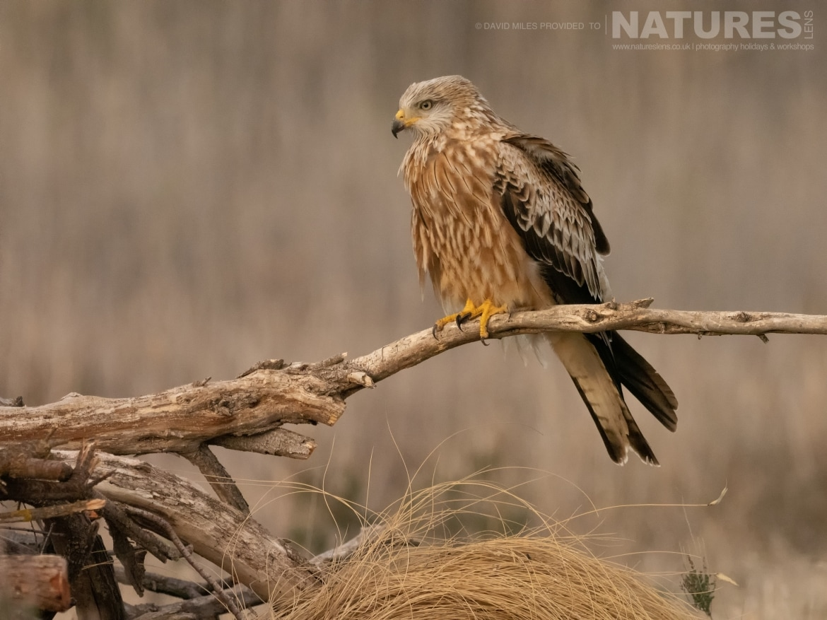 A Red Kite poses on a fallen tree stump in front of the hides on the photography estate photographed at the Winter Raptors of Toledo photography holiday at El Taray