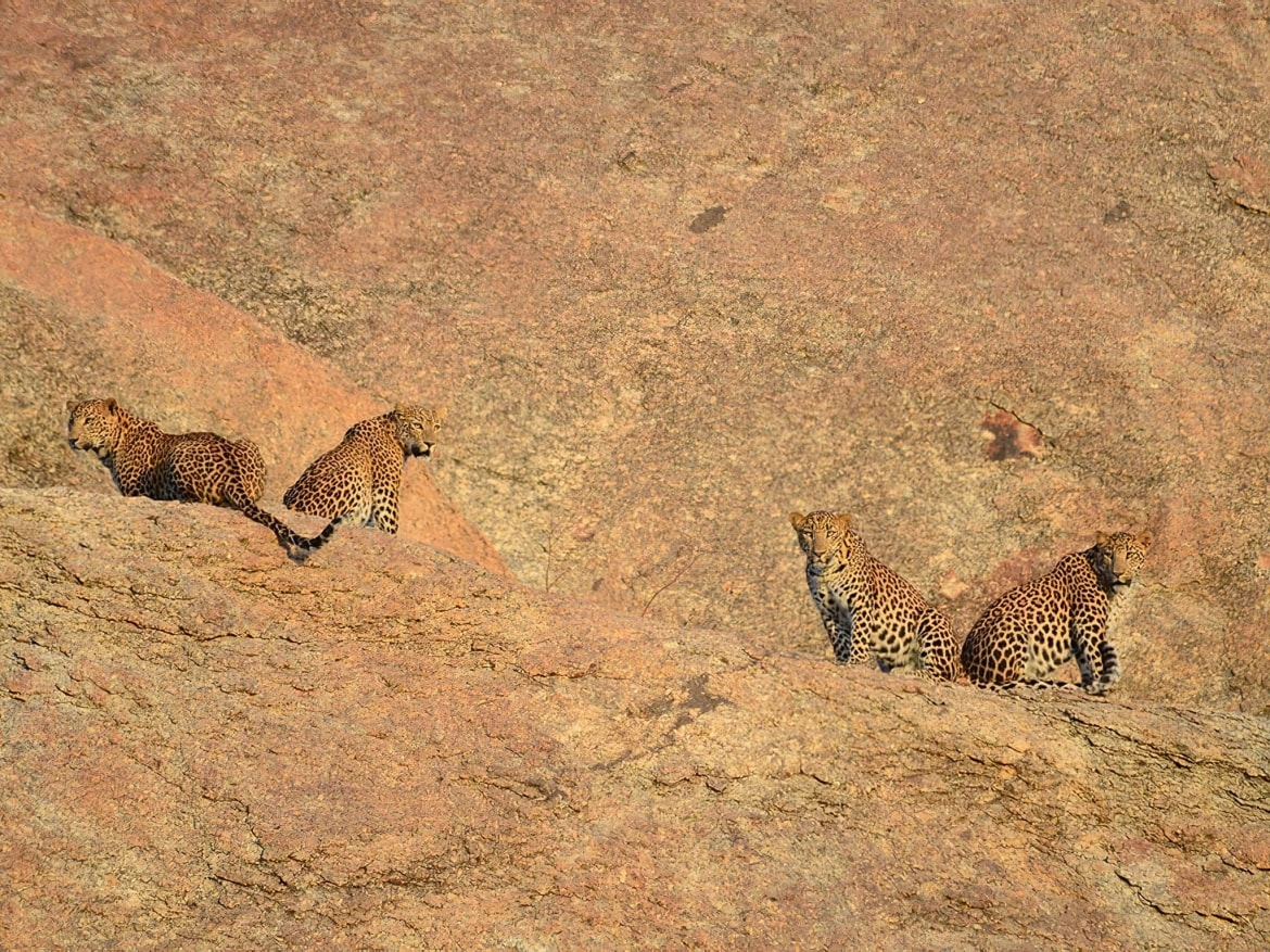 A quartet of leopards on the rocky cliffs photographed in Bera Jawai the location for the NaturesLens India's Leopards of Bera Photography Holiday