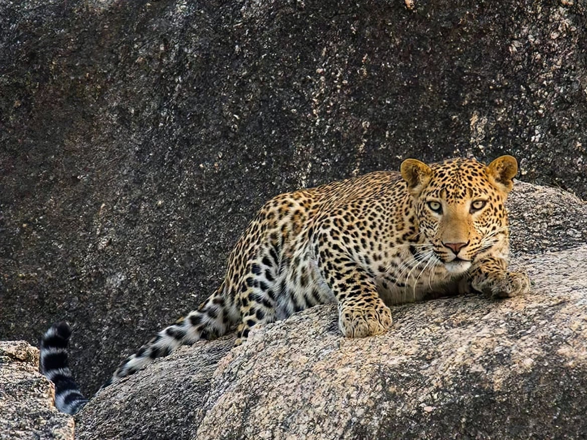 A solitary leopard on the rocky cliffs photographed in Bera Jawai the location for the NaturesLens India's Leopards of Bera Photography Holiday
