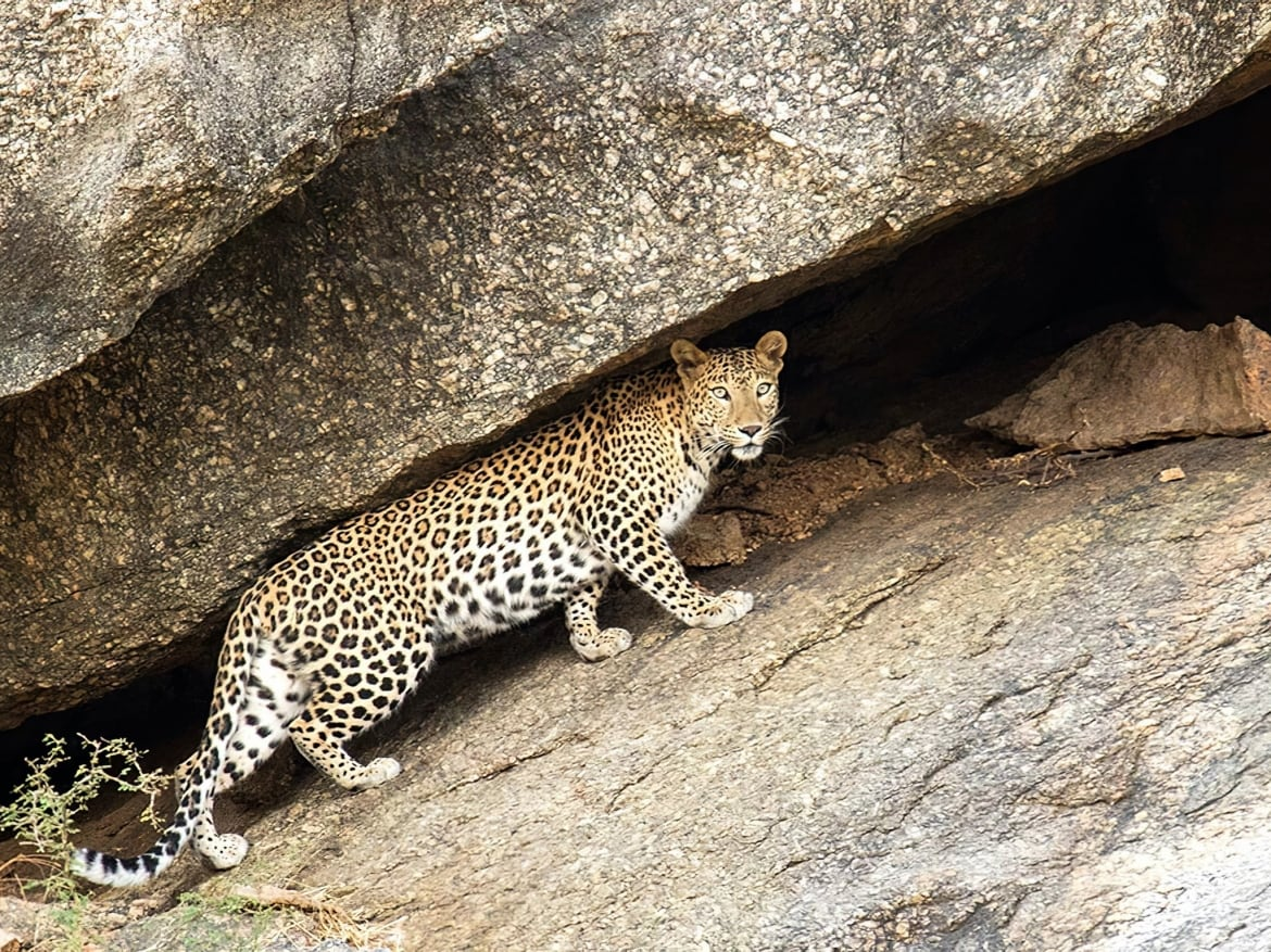 About to enter a cave this is one of the leopards on the rocky cliffs photographed in Bera Jawai the location for the NaturesLens India's Leopards of Bera Photography Holiday