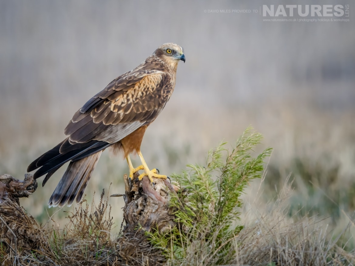 One of the Harriers poses on a small tree stump in front of the hides on the photography estate photographed at the Winter Raptors of Toledo photography holiday at El Taray
