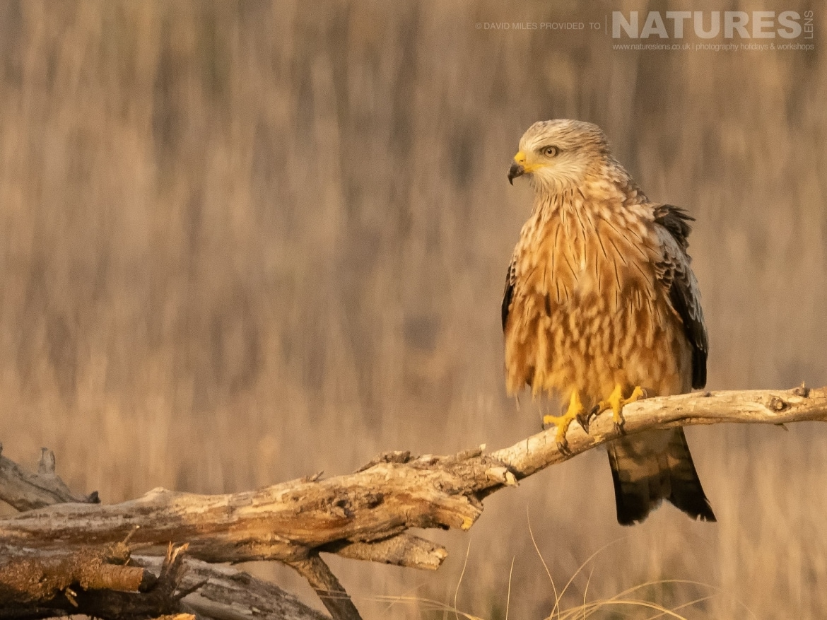 One of the Red Kites poses on a fallen tree stump in front of the hides on the photography estate photographed at the Winter Raptors of Toledo photography holiday at El Taray