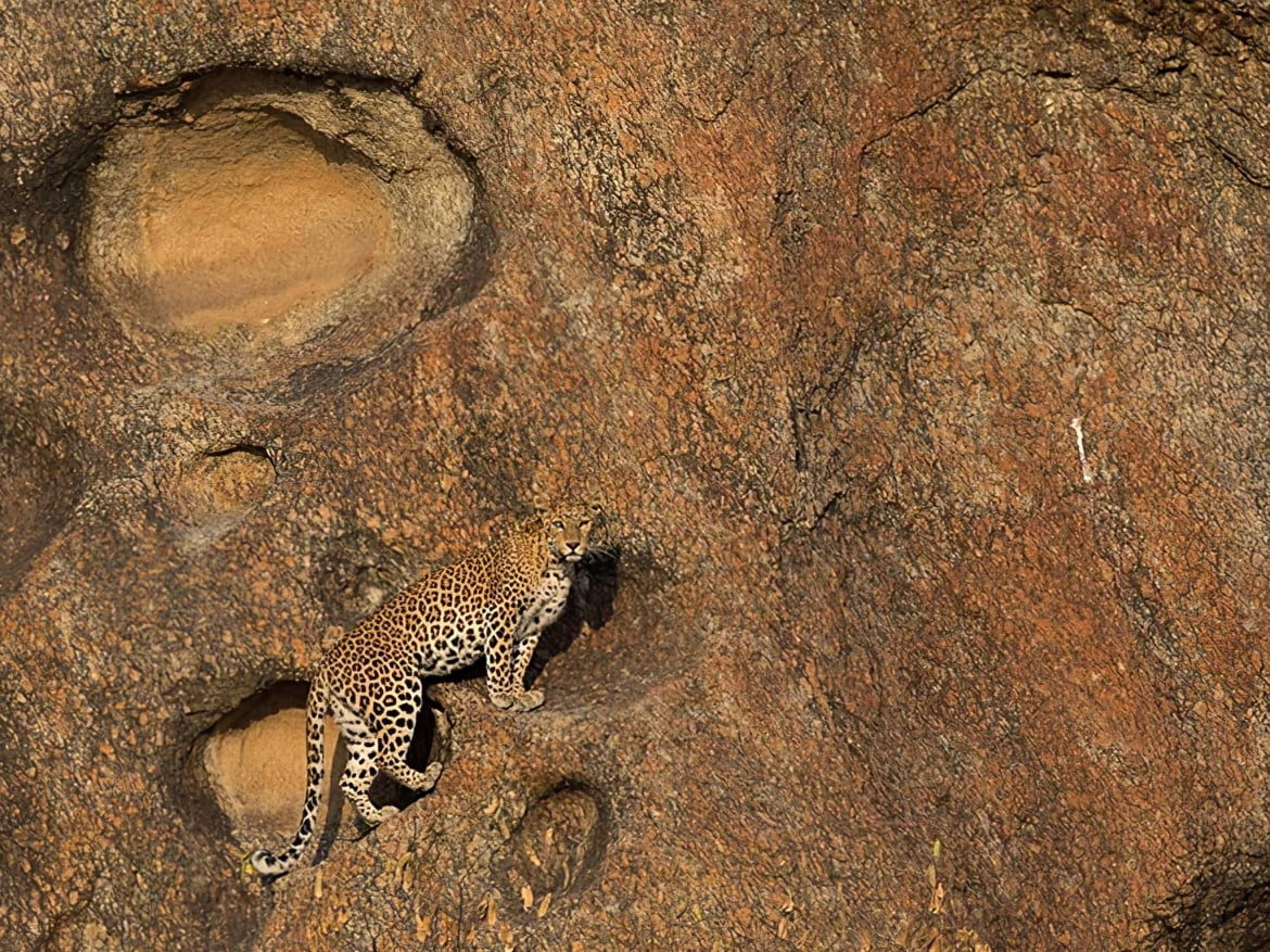 One of the leopards ascends the rocky cliffs photographed in Bera Jawai the location for the NaturesLens India's Leopards of Bera Photography Holiday