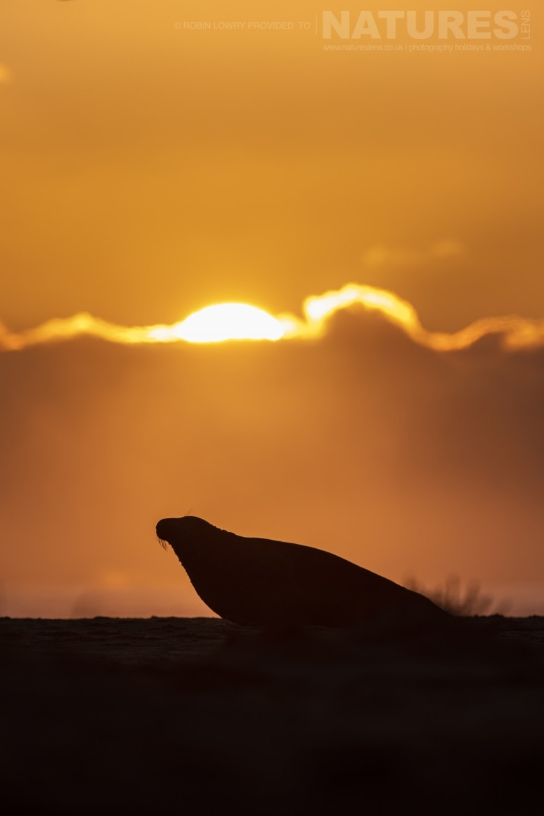 A young seal silhouetted against the sky photographed during the NaturesLens Grey Seals of the Norfolk Coast photography workshop