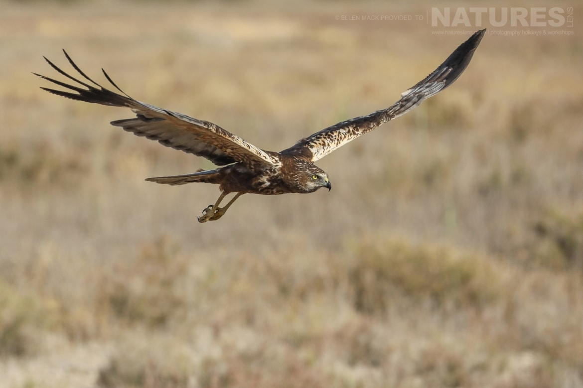 One of the estates fabulous harriers flies across grassland photographed during the NaturesLens Birds of Toledo photography holiday at Hides del Taray