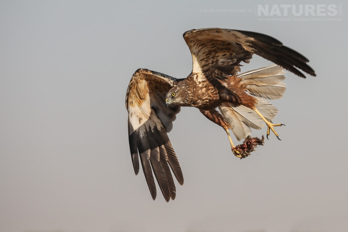 One of the estates fabulous raptors flies across grassland photographed during the NaturesLens Birds of Toledo photography holiday at Hides del Taray