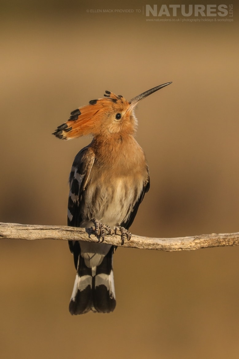 One of the many hoopoes found on the estate photographed during the NaturesLens Birds of Toledo photography holiday at Hides del Taray