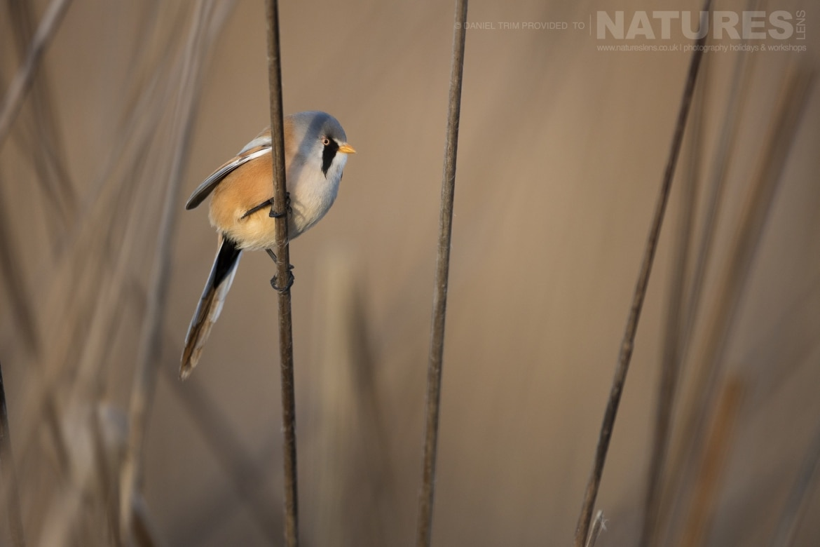 A Bearded Tit amongst the reed beds of the estate of El Taray in Spain photographed during the NaturesLens Winter Birds of Toledo photography holiday