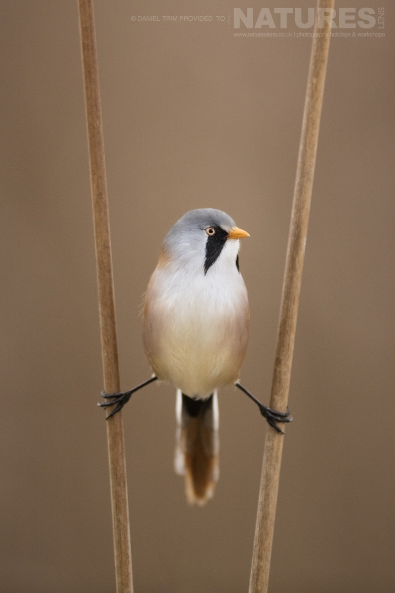 A Bearded Tit between two of the reeds of the estate of El Taray in Spain photographed during the NaturesLens Winter Birds of Toledo photography holiday