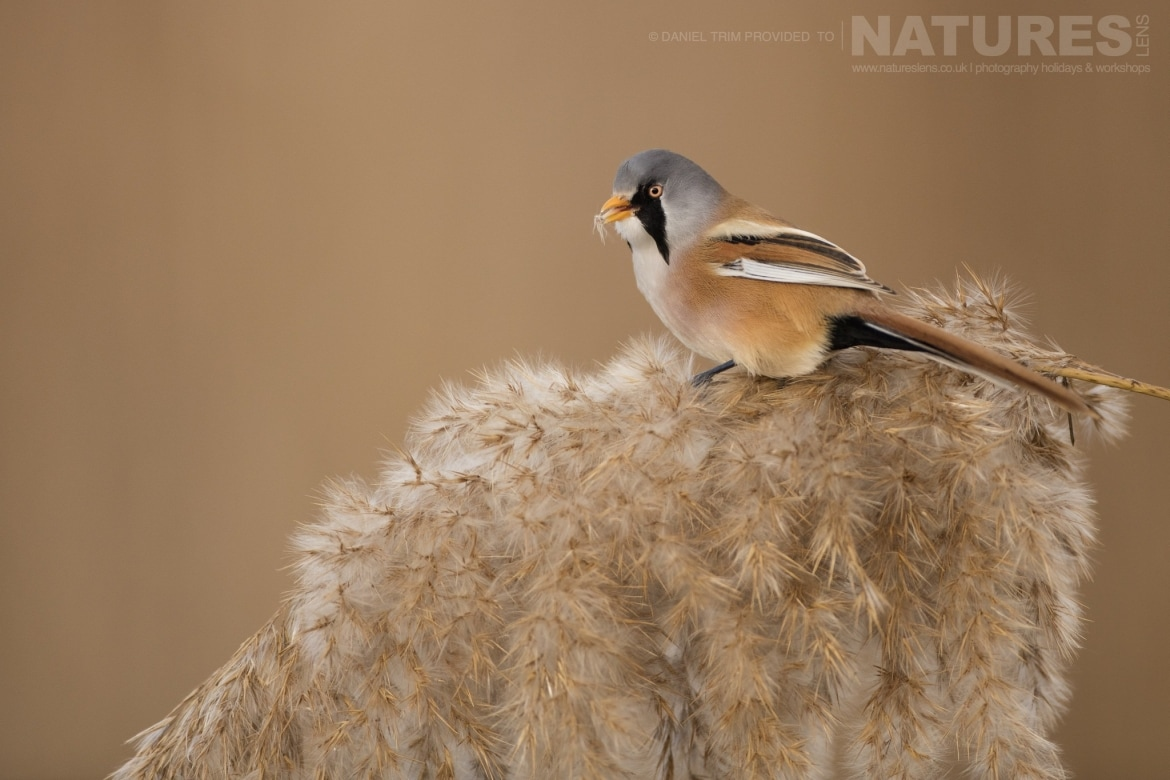 A Bearded Tit on top of one the reeds within the estate of El Taray in Spain photographed during the NaturesLens Winter Birds of Toledo photography holiday