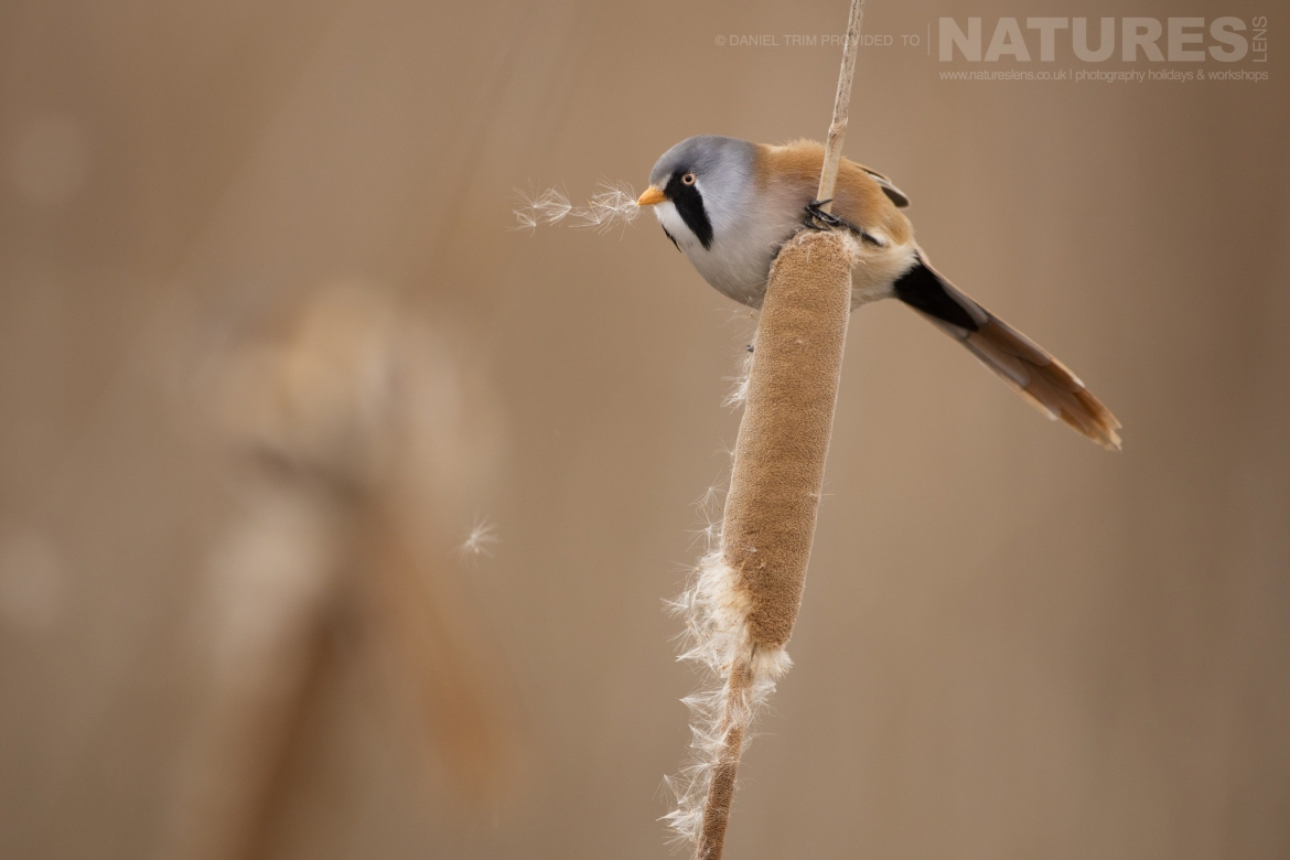 A Bearded Tit poses on a reed within the estate of El Taray in Spain photographed during the NaturesLens Winter Birds of Toledo photography holiday