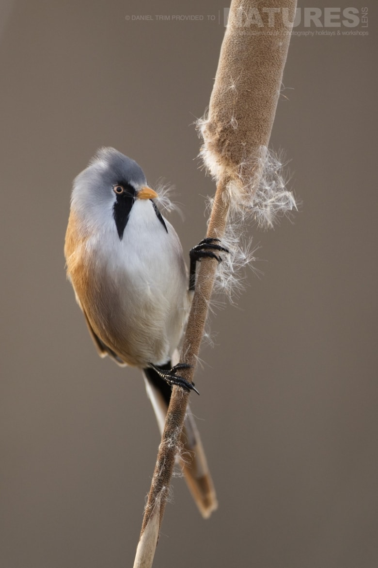 A Bearded Tit poses on one of the reeds found within the estate of El Taray in Spain photographed during the NaturesLens Winter Birds of Toledo photography holiday