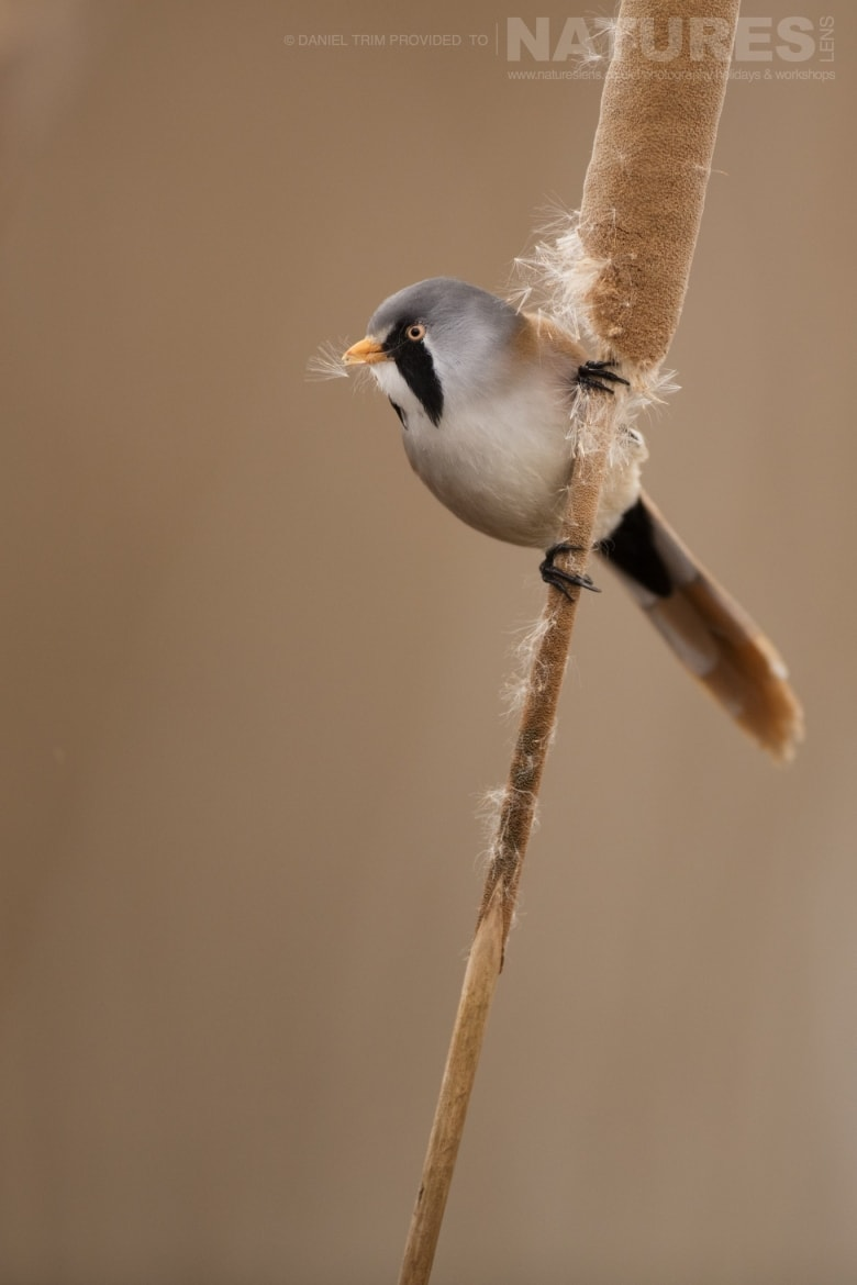 A Bearded Tit poses on one of the reeds of the estate of El Taray in Spain photographed during the NaturesLens Winter Birds of Toledo photography holiday