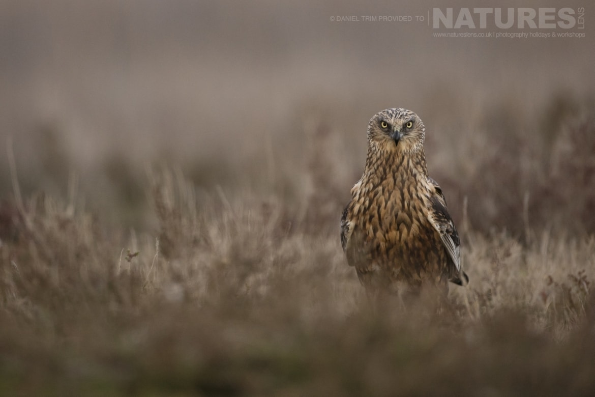 A lone Marsh Harrier stares intently at the photography hides within the estate of El Taray in Spain photographed during the NaturesLens Winter Birds of Toledo photography holiday
