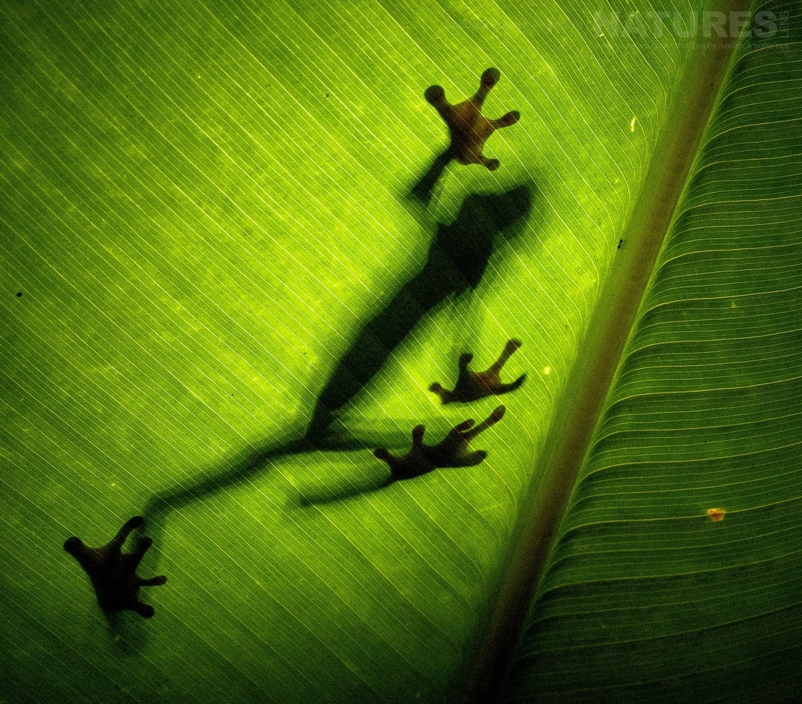 A red eyed tree frog strides across a palm leaf photographed during the NaturesLens Costa Rican Wildlife photography tour