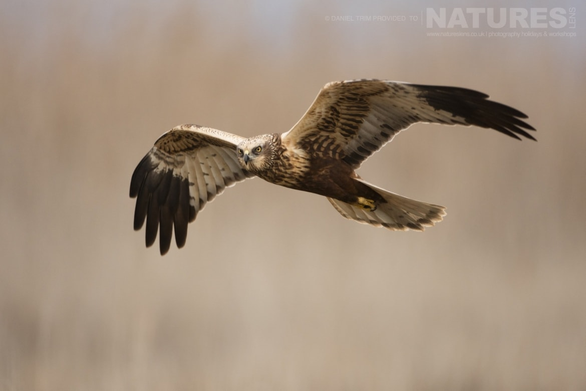 A solitary Marsh Harrier flies in front of the reed beds within the estate of El Taray in Spain photographed during the NaturesLens Winter Birds of Toledo photography holiday