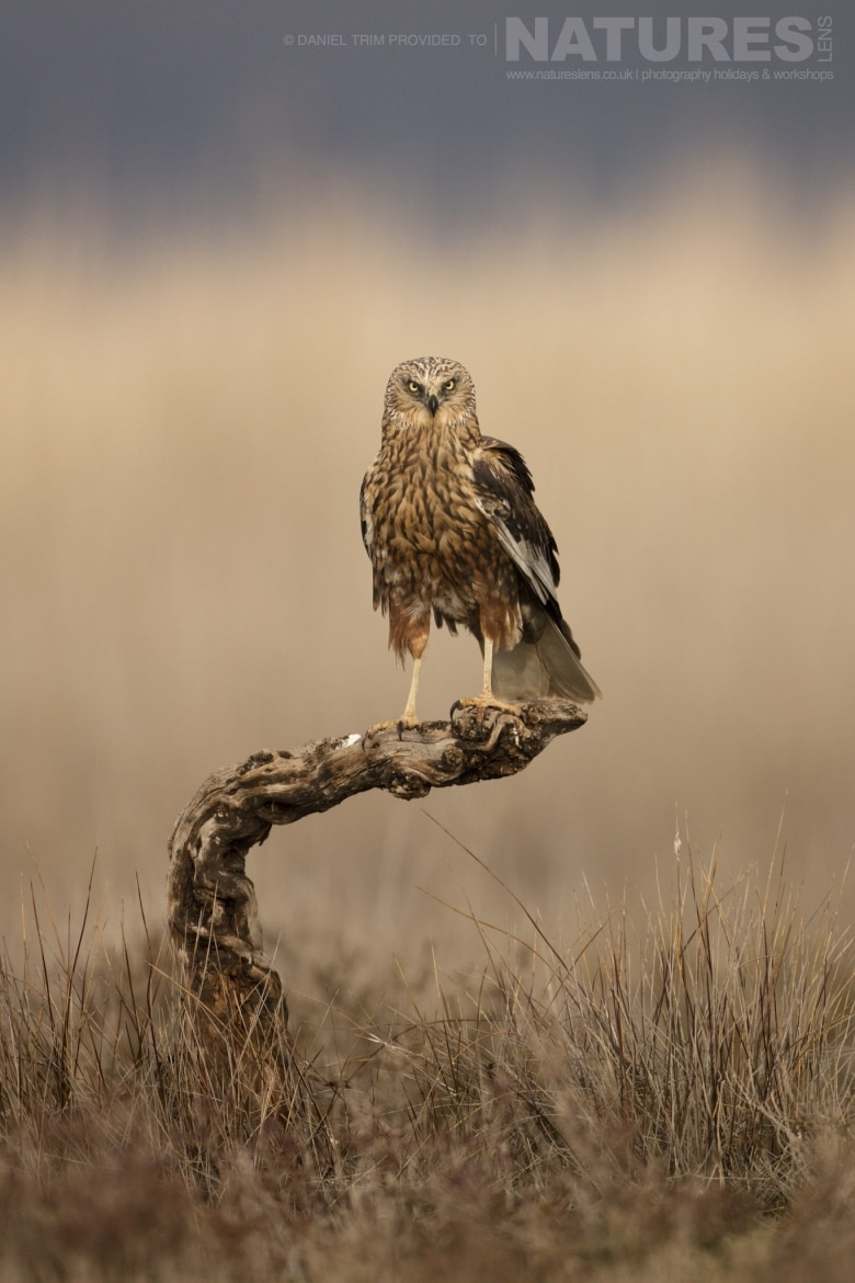 A solitary Marsh Harrier poses on a gnarled wood perch within the estate of El Taray in Spain photographed during the NaturesLens Winter Birds of Toledo photography holiday