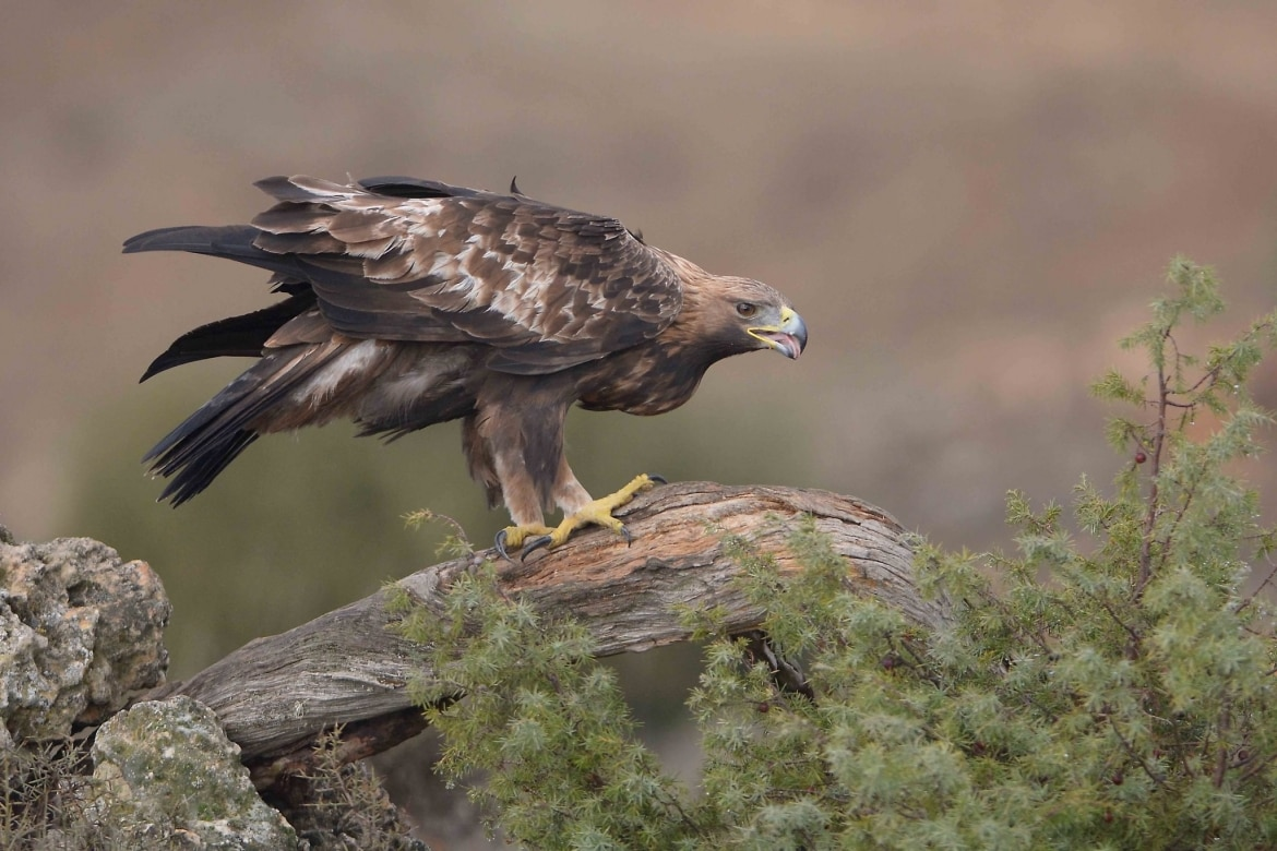 A Golden Eagle calling from a tree branch photographed at the locations used for the NaturesLens Central Spain's Eagles Raptors photography holiday