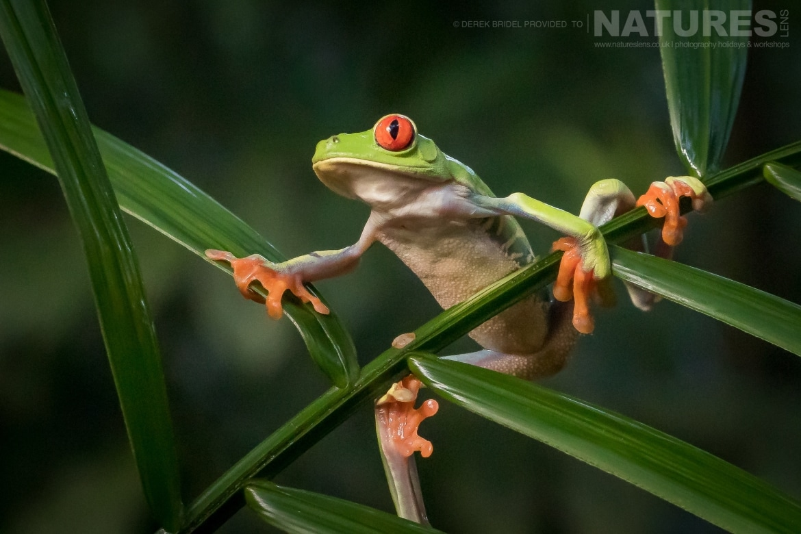 A Red Eyed Tree Frog balances on a palm photographed during the NaturesLens Costa Rican Wildlife photography holiday