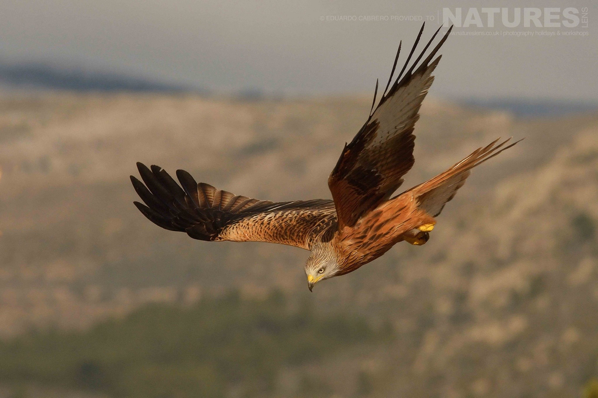 A Red Kite dives towards the ground photographed at the locations used for the NaturesLens Central Spain's Eagles Raptors photography holiday