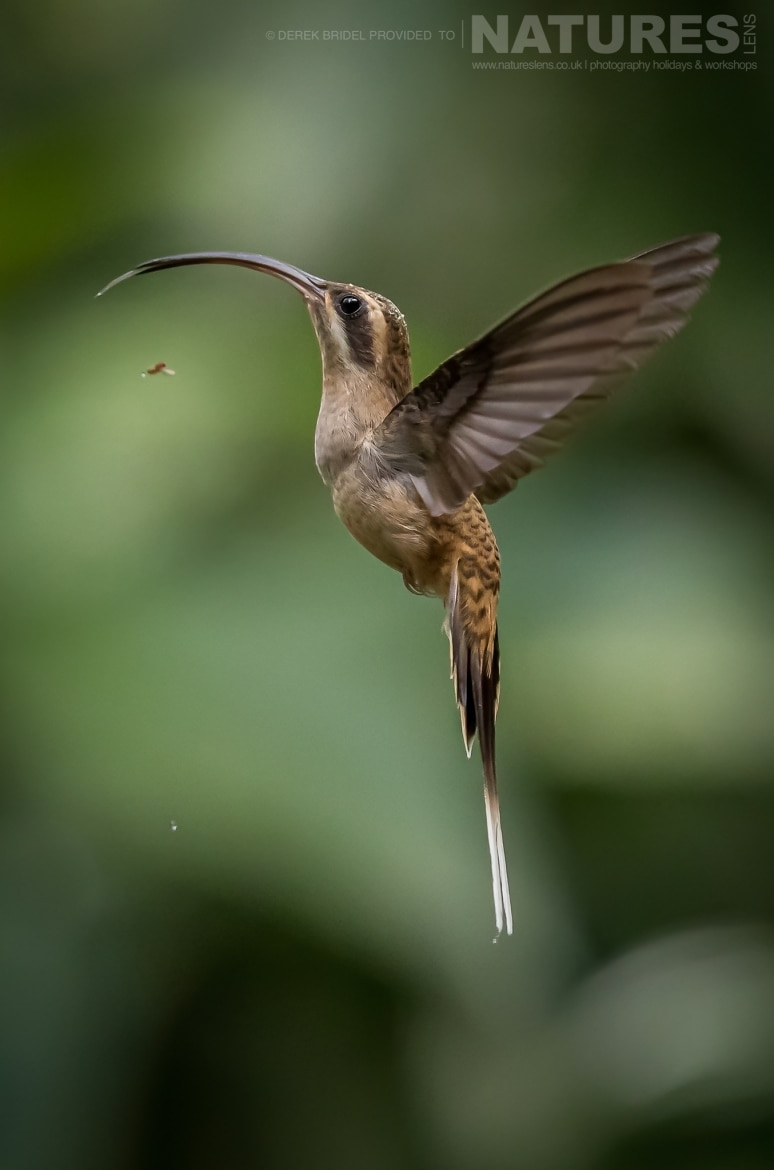 A perfect example of Long Billed Hermit Hummingbird as it delicately hovers photographed during the NaturesLens Costa Rican Wildlife photography holiday
