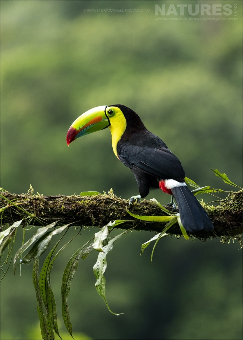 Another of the iconic species this time a Keel billed Toucan photographed during the Costa Rican Wildlife photography holiday