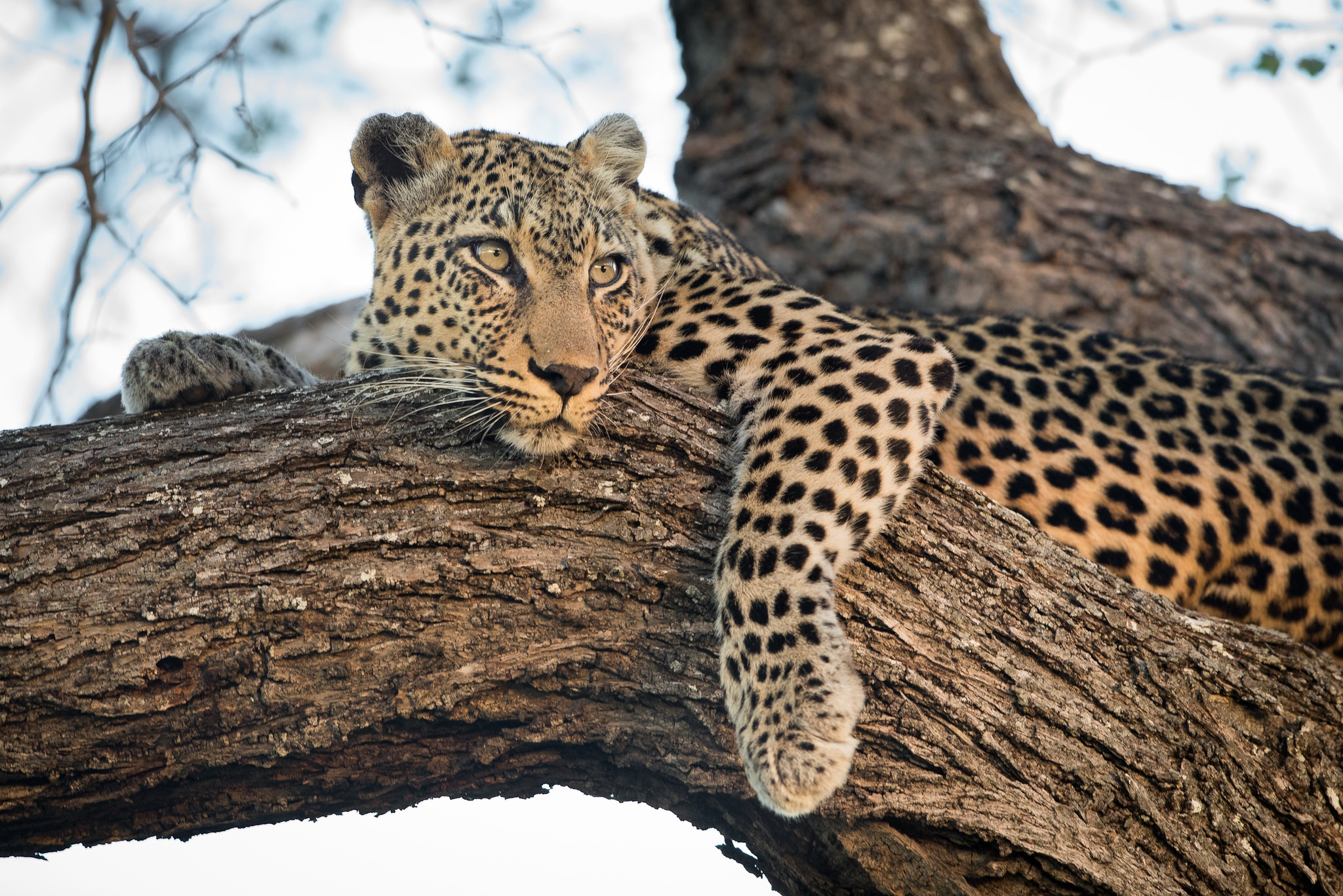 A leopard one of the big five the type of image that you will be able to capture during the NaturesLens Africas Big Five of the Timbavati Photography Holiday