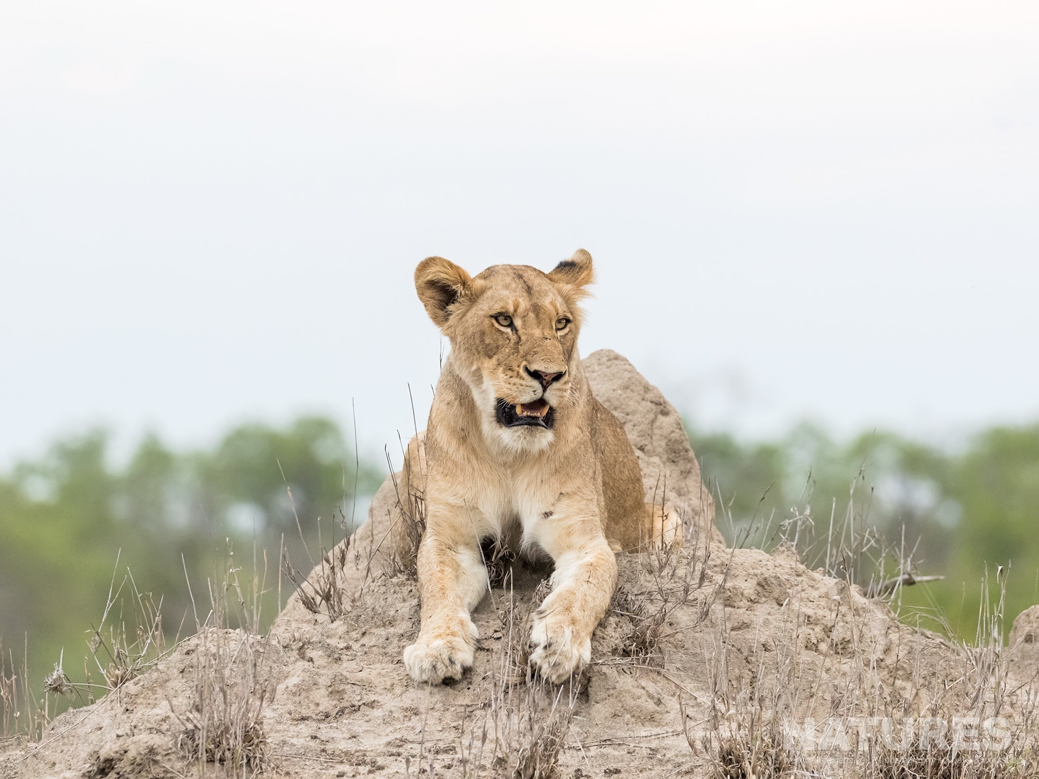 A young lion poses oon top of a mound photographed on the reserve used for the NaturesLens Leopards of Sabi Sands Photography Holiday