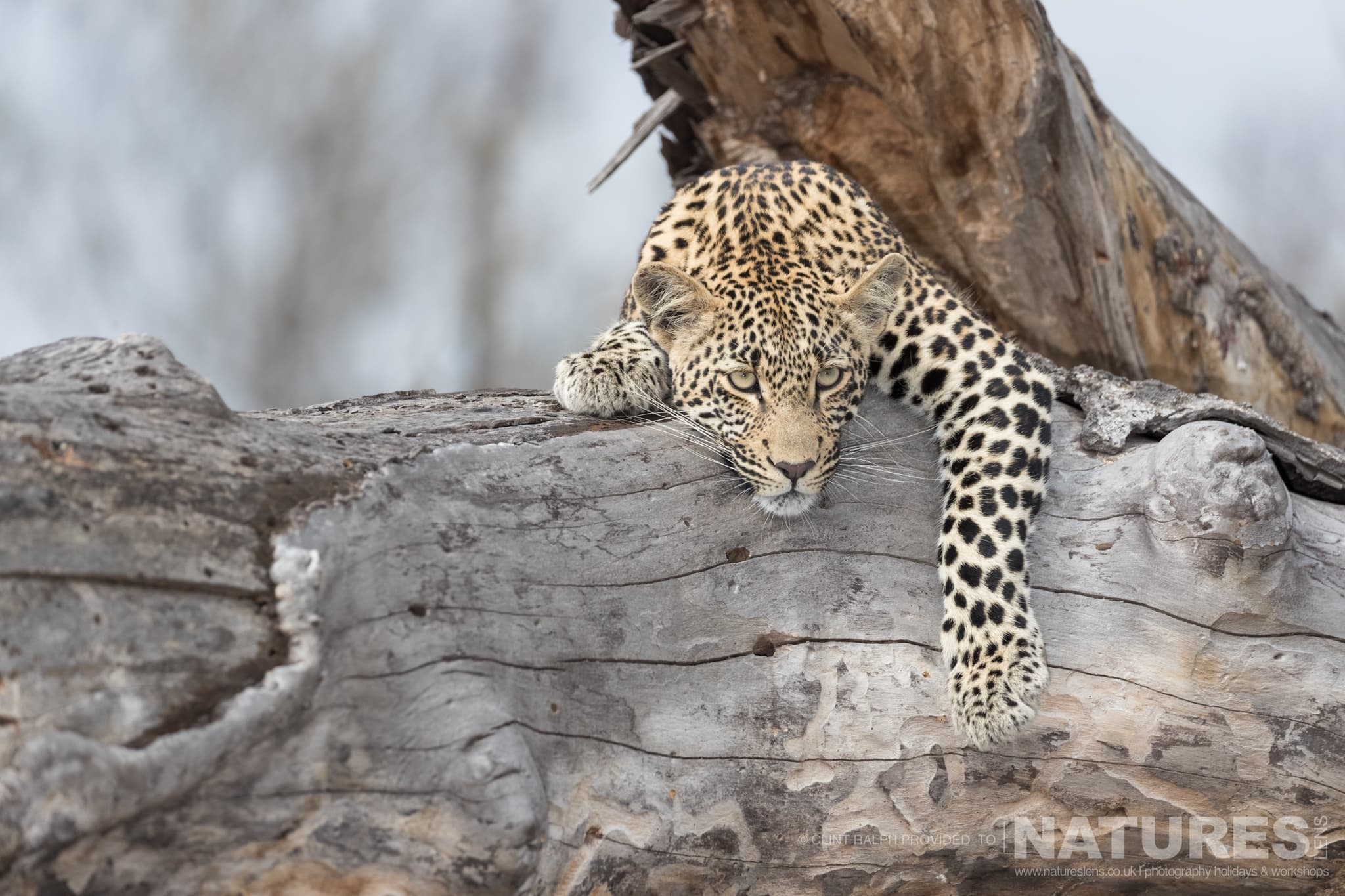 One of the leopards of Sabi Sands draped over a fallen tree photographed on the reserve used for the NaturesLens Leopards of Sabi Sands Photography Holiday