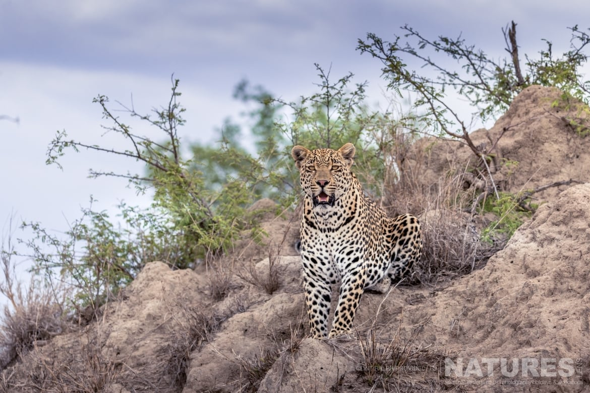 One of the leopards of the private reserve photographed on the reserve used for the NaturesLens Leopards of Sabi Sands Photography Holiday