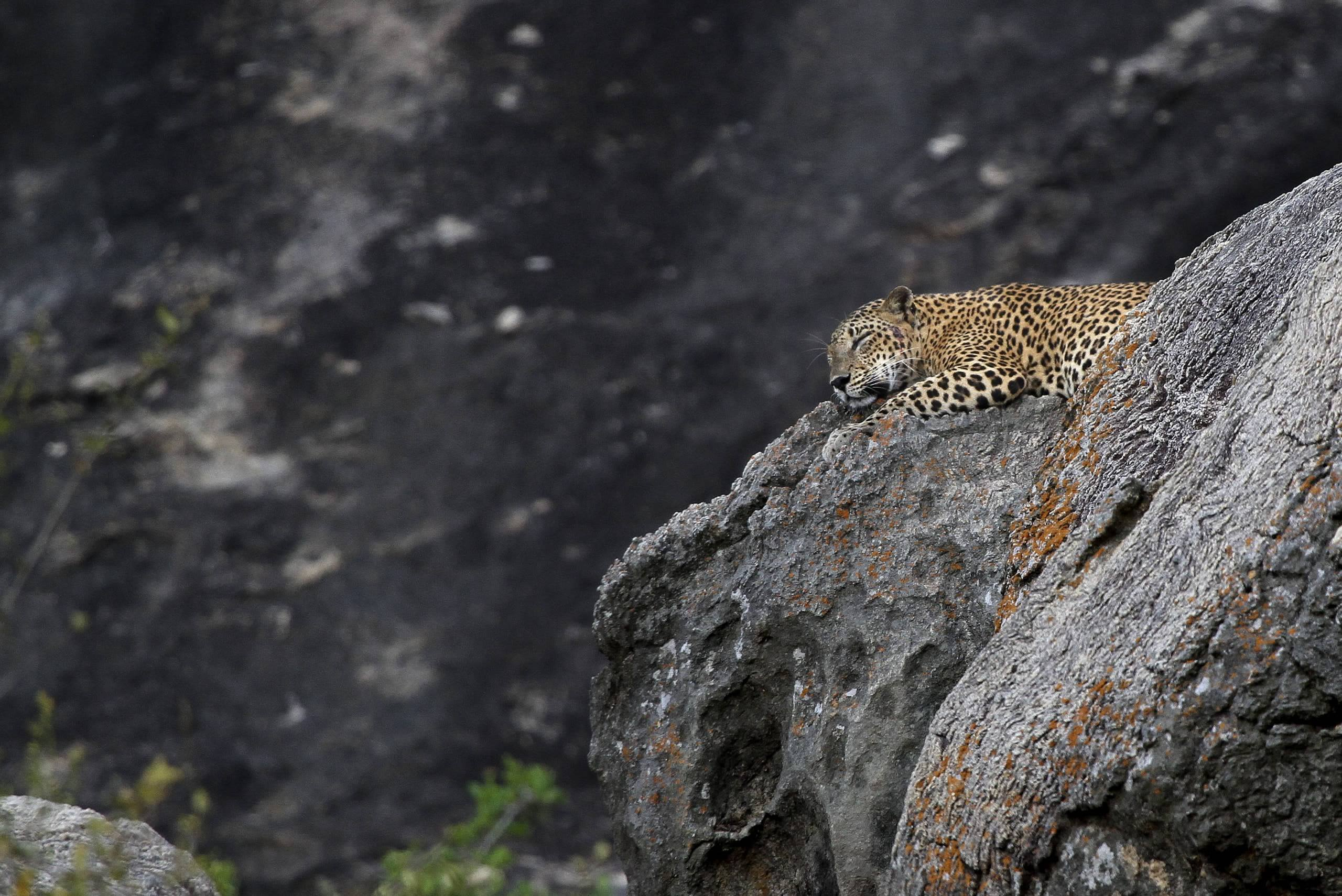 A Leopard asleep on rocks in Yala one of the many locations found on the NaturesLens Wildlife of Sri Lanka Photography Holiday