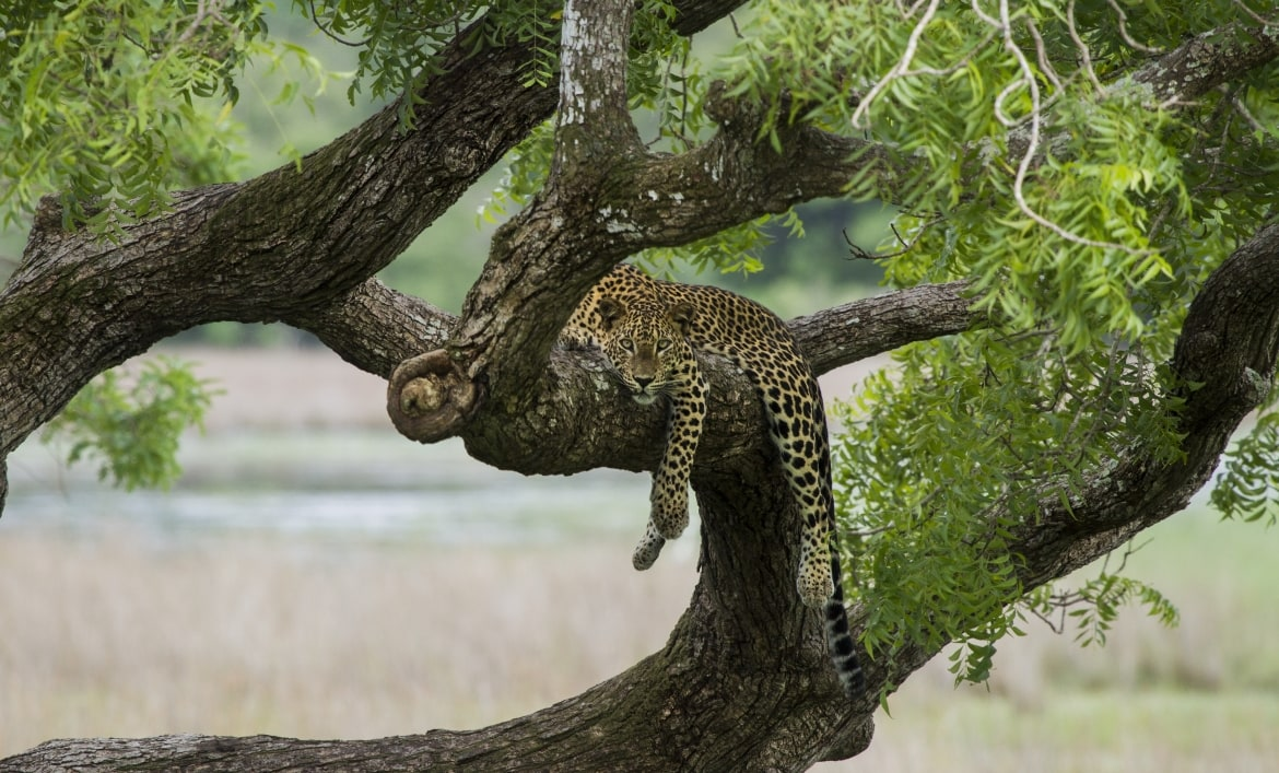 A Leopard hangs in a tree in Wilpattu one of the many locations found on the NaturesLens Wildlife of Sri Lanka Photography Holiday