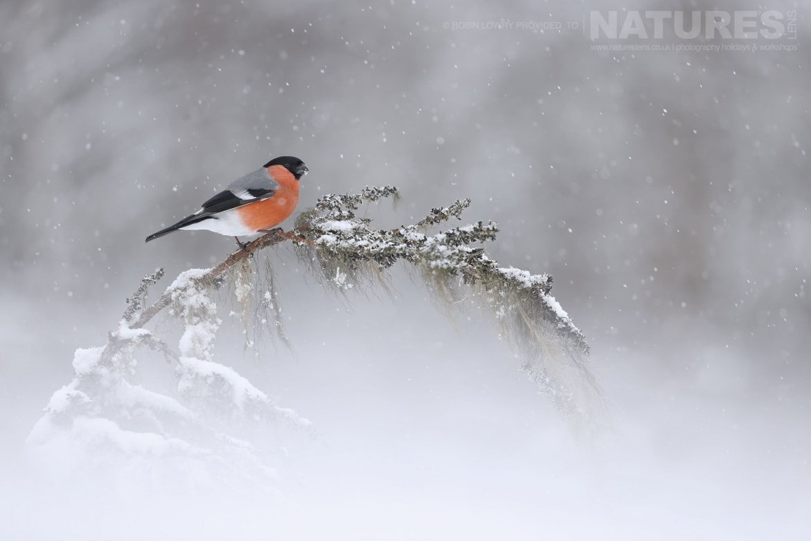 A beautiful bullfinch perched on a snow clad branch photographed by Robin Lowry during the NaturesLens Golden Eagles of the Swedish Winter Photography Holiday