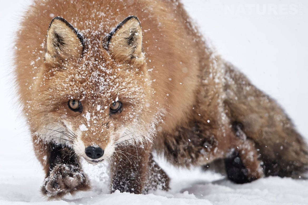A beautiful fox moves through the snow photographed by Robin Lowry during the NaturesLens Golden Eagles of the Swedish Winter Photography Holiday