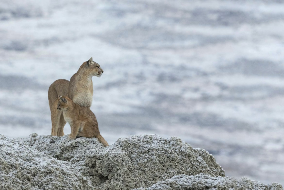 A female puma with cub photographed in the Torres del Paine National Park the location for the NAturesLens Pumas of Patagonia Photography Holiday